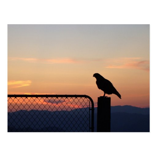 Red Tailed Hawk at Sunset, Humboldt County, CA Post Cards