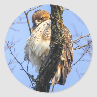 Red-tailed Hawk Classic Round Sticker