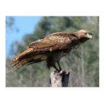 Red-tailed Hawk gaze Postcard
