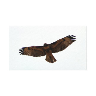 Red-tailed Hawk in flight, Humboldt County, CA Stretched Canvas Print