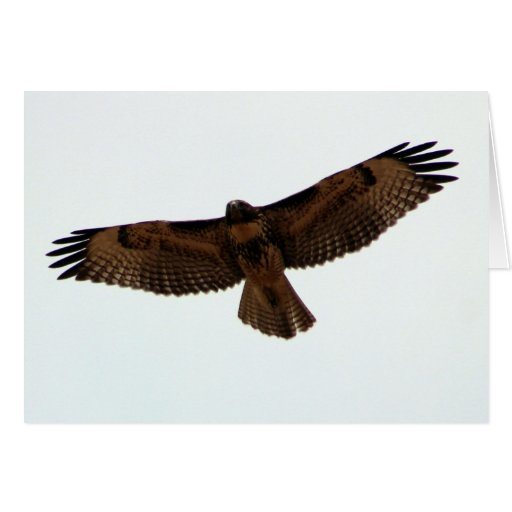 Red-tailed Hawk in flight, Humboldt County, CA Card