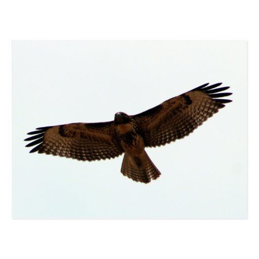 Red-tailed Hawk in flight, Humboldt County, CA Post Card