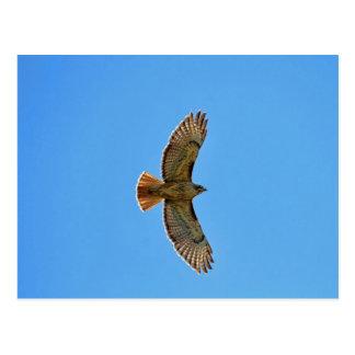 Red-Tailed Hawk in Flight Postcard