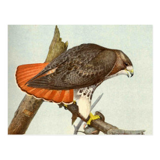 Red Tailed Hawk Post Cards