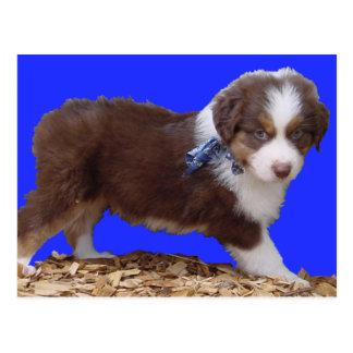 Red Tri Aussie Puppy Postcard