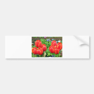 Red tulip flowers in bloom 1 bumper stickers
