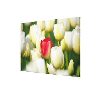 Red tulip in a field of white tulips canvas print