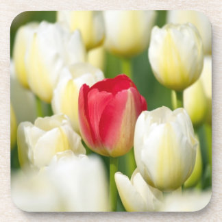 Red tulip in a field of white tulips beverage coaster