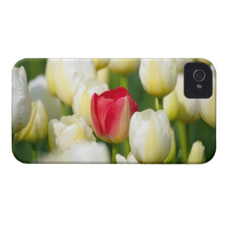 Red tulip in a field of white tulips iPhone 4 covers
