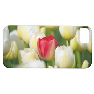 Red tulip in a field of white tulips iPhone 5 cases