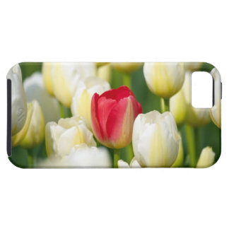Red tulip in a field of white tulips iPhone 5 covers