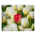 Red tulip in a field of white tulips poster