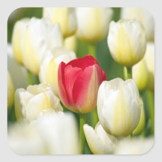 Red tulip in a field of white tulips square sticker