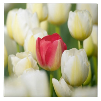 Red tulip in a field of white tulips tile
