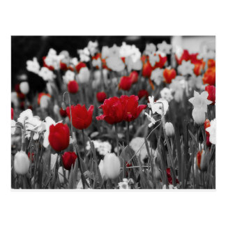 Red Tulips against black and white Postcard