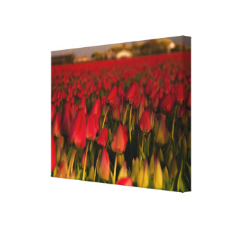 Red Tulips field Holland Landscape Single Canvas Canvas Print