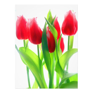 Red Tulips On White Photo