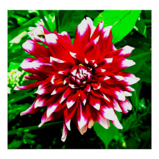red & white dahlia posters
