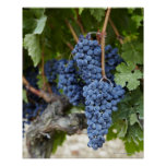 Red wine grapes on the vine poster