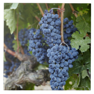 Red wine grapes on the vine tile