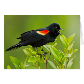 Red-Winged Blackbird (Agelaius Phoeniceus) Male Card