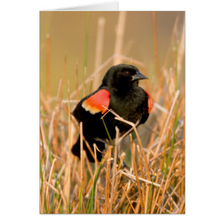 Red-winged Blackbird male singing Card
