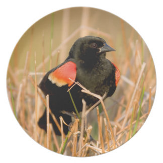 Red-winged Blackbird male singing Party Plate