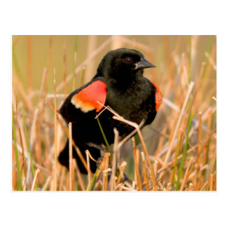Red-winged Blackbird male singing Postcard