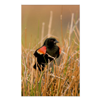Red-winged Blackbird male singing Poster