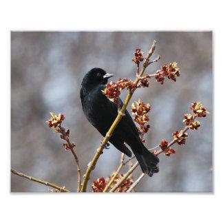 Red-winged Blackbird Photo Art