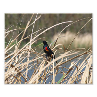 Red-Winged Blackbird Photo Print