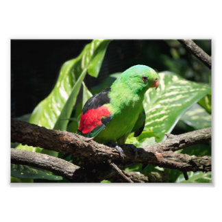 Red-winged Parrot on Tree Limb Photo Print