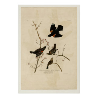 Red winged Starling Print