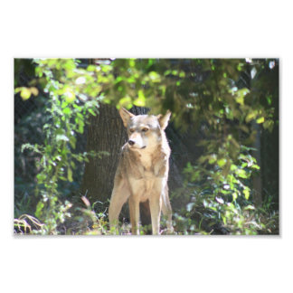 Red Wolf Photo Print