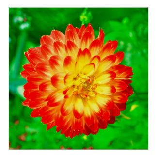 red & yellow dahlia posters