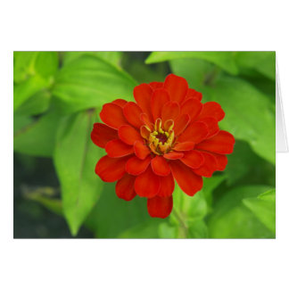 Red Zinnia Front Card