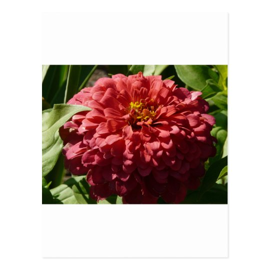 red zinnia postcard