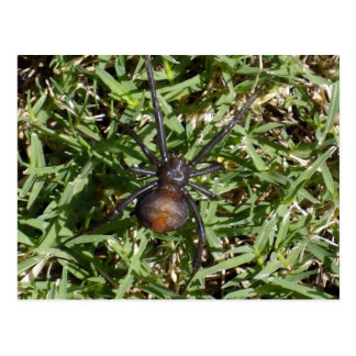 Redback Spider On Green Grass, Postcard