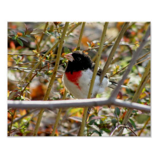 Redbreasted Grosbeak ~ Photograph by Risa ~ Poster