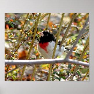 Redbreasted Grosbeak ~ Photograph by Risa ~ Print