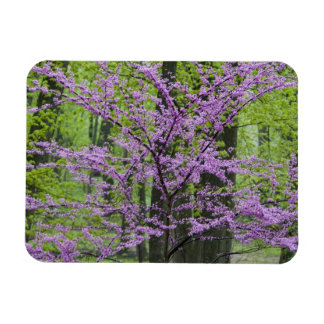 Redbud trees in full spring bloom near Defiance Rectangular Photo Magnet