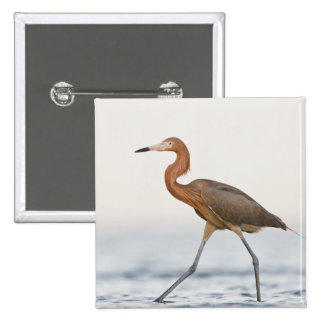 Reddish Egret adult hunting in bay, Texas 15 Cm Square Badge