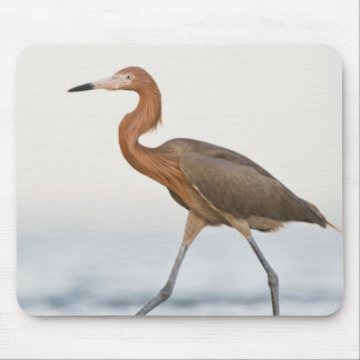 Reddish Egret adult hunting in bay, Texas Mouse Mat