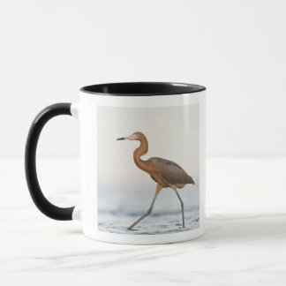 Reddish Egret adult hunting in bay, Texas Mug