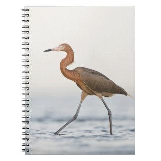 Reddish Egret adult hunting in bay, Texas Notebook
