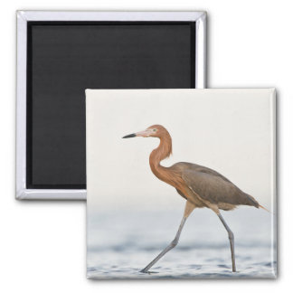 Reddish Egret adult hunting in bay, Texas Square Magnet
