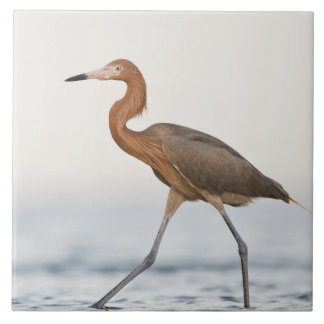 Reddish Egret adult hunting in bay, Texas Tile