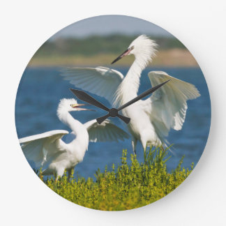 Reddish Egret (Egretta Rufescens) Adult Feeding Large Clock