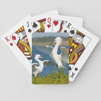 Reddish Egret (Egretta Rufescens) Adult Feeding Playing Cards