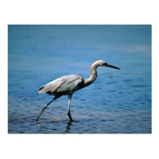 Reddish Egret, fishing Postcard